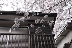 cherry blossoms 2013 (sumisso) Tags: japan canon tokyo spring  sakura cherryblossoms shimokitazawa  eos50d