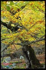 Los Colores del Otoo (Historia de Covaleda) Tags: espaa spain fiesta paisaje douro pinos soria historia pinar tradicion duero covaleda
