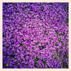 Purple blossoms (Nada*) Tags: flowers flower color colour cute apple nature mobile photography spring phone purple blossom telephone small cellphone lila lilac tiny frame hue 4s iphone instagram iphone4s