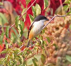 Th13_04274a (jerryoldenettel) Tags: bird thailand shrike passeriformes angkhang doiangkhang lanius passerine laniusschach longtailedshrike 2013 laniidae