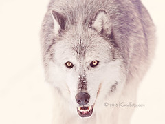Timber_Wolf (kandace109) Tags: usa snow buffalo wildlife parks architectural stockphotos yellowstonenationalpark snowmobiles whitesnow nationalparks bison wy winterlandscape naturephotography landscapephotography westyellowstone naturestockphotography winterinyellowstone stockpictures texasphotographer snowlandscapes stocklandscapephotography sulfurpools kandaceheimerphotography kandfotocomphotography kandaceheimernaturephotography stocknaturephotos kandaceheimernaturephotograp greysers