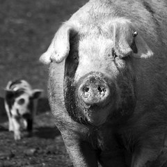 Oink (Christian Hacker) Tags: life blackandwhite bw eye monochrome look animal canon square eos mono scotland pig funny mud fife farm farming scottish ears dirty dirt hanging format piglet staring oink snout anstruther nostrils 50d