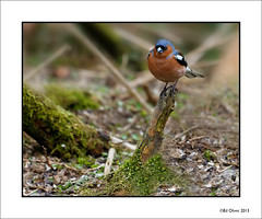 Chaffy_9 (Seven_Wishes) Tags: chaffinch britishbirds britishgardenbirds canonef100400mmf4556lis canoneos5dmarkiii britishgardenandwoodlandbirds