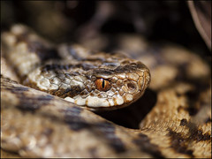 Adder (Grasping-air) Tags:
