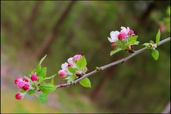 Apple blossoms.... (Patlees) Tags: apple canon blossoms dutchangle