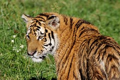 """""""On compare parfois la cruaut de l'homme  celle des fauves, c'est faire injure  ces derniers."""" Dostoevski (Natureclichs) Tags: tigre flin fauve specanimal"""