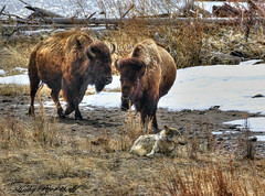 """Go ahead, touch it ... I double-dog dare ya!"" (Spokeannie) Tags: wolf yellowstone bison"