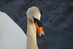 Swan, Talygarn Lake