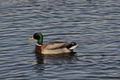 Duck, Talygarn Lake