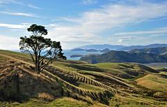 Coromandel (Kiwi-Steve) Tags: newzealand tree landscape nikon nz northisland coromandel nikond90 mygearandme