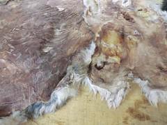 CIMG7921 (TheBosque) Tags: leather fur rabbits traditionalskills hidetanning raisingrabbits