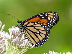 Monarch (Danaus plexippus) (WRFred) Tags: butterfly nature wildlife maryland montgomerycounty insect backyardwildlife