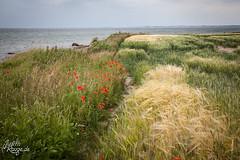 Danish Coast (judithrouge) Tags: denmark coast field dnemark kste feld mohn poppy path way weg pfad meer sea landscape nature natur landschaft sommer summer travel reise