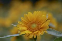 Sunflower (joka2000) Tags: flower yellow dof petal sunflower droplet