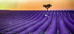 Tous nos Voeux de Bonheur...... (Malain17) Tags: lavender perspective colors mariage arbre photography photographers pentax provence france image sillons coucherdesoleil landscape flickr flickrbronzetrophygroup wow panorama