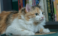 First Day (nickinthegarden) Tags: cat calico longhair rescue