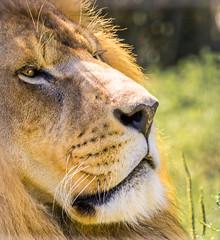 Rescued King.jpg (Darren Berg) Tags: lion pride rescue king