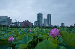 GR002005.jpg (Ryo(りょう)) Tags: lotusflowers 28mm tokyo ricohgrii japan ueno shinobazunoike