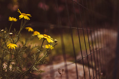 Yellow wild flowers next to a fence on sidewalk (thethomsn) Tags: yellow wild flowers sidewalk fence hff fencefriday dof plants outdoors thethomsn sigma 30mm countryside garden