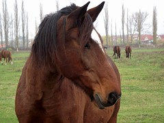 Waking dream in the pasture (andraszambo) Tags: horse horses portrait l lovaksegybhztjijszgok lovagls large extra warmblood pej srny bolyg hungary draught animal mammal equestrian pferd pferden pasture wondering waking dream cavallo cavalli caballo