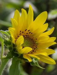 Sunflower (mahar15) Tags: asteraceae plant yellow flower nature outdoors bloom sunflower summer yellowflower yellowsunflower