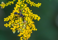 Attracted to Yellow (tquist24) Tags: goshen goshenmillracecanal indiana nikon nikond5300 bokeh bug flower geotagged insect nature summer wasp wildflowers yellow unitedstates outdoor flowers wow