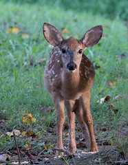 White Tail Fawn (jerryherman1) Tags: whitetail deer fawn maryland