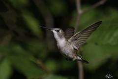 Ruby Throated Hummingbird_1894 (Kerry. Williams - Amateur) Tags: rubythroatedhummingbird borealforrest manitoba birds lakewinnipeg canada hummingbird