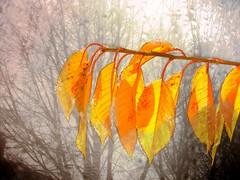 Autumn Leafs (Aurrora) Tags: autumnleafs nature bokeh dew wildlife window frost leafs leaf fog
