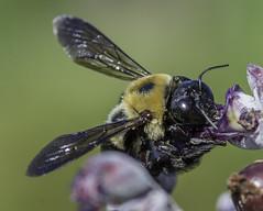 Bee_SAF7786-1 (sara97) Tags: bee copyright2016saraannefinke flyinginsect insect missouri nature outdoors photobysaraannefinke pollinator saintlouis towergrovepark
