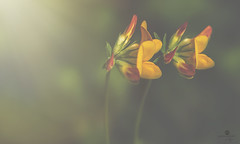 town criers (rockinmonique) Tags: macro bokeh light yellow green orange flower bloom blossom petals small pair two moniquew canon tamron copyright2016moniquewphotography