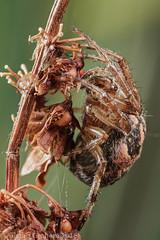 Larinioides cornutus - female (clanchief) Tags: spider web orb furrowspider foliatespider canonmpe65mm reeds orbweaver silk larinioidescornutus larinioides