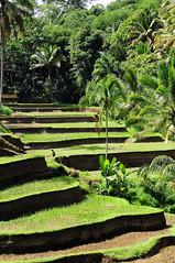 hard work (-Mina-) Tags: indonesia asia southeastasia bali rice riceterraces tengalalang nature landscape green trees