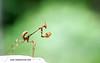 Praying Mantis (madangc) Tags: praying mantis prayingmantis wwwmadansclickcom madansclick macro