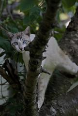 Acróbata (Ru GarFer) Tags: extremadura badajoz llerena campiña sur rivera ribera molinos gato feliscatus blanco rayado ojos azul árbol rama mirada mamífero felino