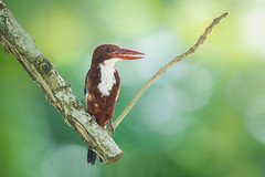 White-throated Kingfisher (BP Chua) Tags: kingfisher bird nature wildlife wild nikon photography whitethroated perch singapore kranji park 600mm allnaturesparadise