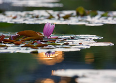 Water Lily, Sunset (mclcbooks) Tags: flower flowers floral denverbotanicgardens colorado waterlily waterlilies pond water reflections lilypads summer sunset evening