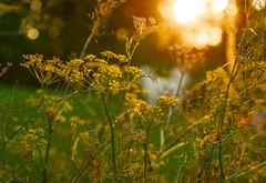 sunrise (balu51) Tags: garten sonnenaufgang sonnenstrahlen fenchel 60mm bokeh backlight sunrise sun morning early goldenhour herbgarden fennel garden flower bloom 100xthe2016edition 100x2016 image42100 august 2016 copyrightbybalu51
