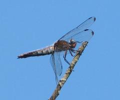 Blue Chaser. Libellula fulva. Old Female (gailhampshire) Tags: blue chaser libellula fulva old female taxonomy:binomial=libellulafulva