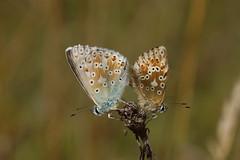 chalk-hill blue (murtica27) Tags: butterflies papillion mariposa falter tagfalter blue blulinge macro animal insects deutschland germany kyffhuser thringen sony alpha plyommatus coridon chalkhill silbergrner lycaenidae lepidoptera europe