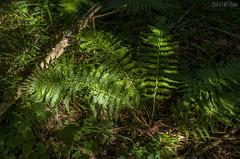 Light fern (KF-Photo) Tags: farn spotlicht waldboden waldfarn