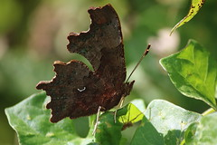 IMG_003476_k - Polygonia c-album - Gehakkelde aurelia (Monique van Gompel) Tags: vlinder butterfly insect insecta aurelia dagvlinder nymphalidae polygoniacalbum polygonia gehakkeldeaurelia