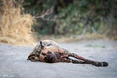 DT-162 (Photography by Brian Lauer) Tags: botswana africa safari safaris wildlife travel nikonphotography nikon lion elephant hippo fisheagle saddlebilledstork piedkingfisher lilacbreastedroller wilddog
