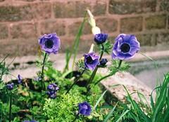 Purple Anemones (2) (Matthew Huntbach) Tags: purple anemones eltham fujisuperia400