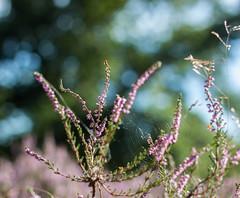 Can you see the spider in the heath? (Janne Fairy) Tags: heide spinnennetz schrfentiefe depthoffield cobweb spidersweb heath erica callunavulgaris calluna vulgaris spider