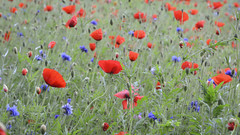 Red, Blue and Green (gerainte1) Tags: poppies flowers colour red green