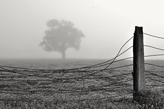 Winter's End, (holly hop) Tags: emu farm foggy fences fence fog hff fencefriday nature cold winter morning monochrome bw grey tree