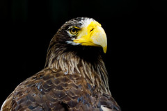 Steller's Sea Eagle of Ueno Zoo :  (Dakiny) Tags: 2016 autmn september japan taito ueno outdoor nature park uenopark zoo uenozoo creature animal bird raptor birdofprey eagle stellersseaeagle nikon d7000 sigma apo 70200mm f28 ex hsm apo70200mmf28exhsm sigmaapo70200mmf28exhsm nikonclubit tokyo