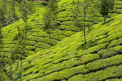 319A1700 Tea plantations of the Western Ghats, Kerala (Priscilla van Andel (Uploading database)) Tags: teaplantations westernghats kerala munnar deforestation
