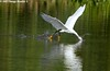 Fly....fishing. Snowy Egret - Bayou Courtableau, Louisiana (Image Hunter 1) Tags: reflection feet nature water birds yellow canon eos flying droplets drops wings fishing louisiana feeding flight bayou swamp 7d marsh ripples splash submerged wingspan snowyegret birdslouisiana bayoucourtableau